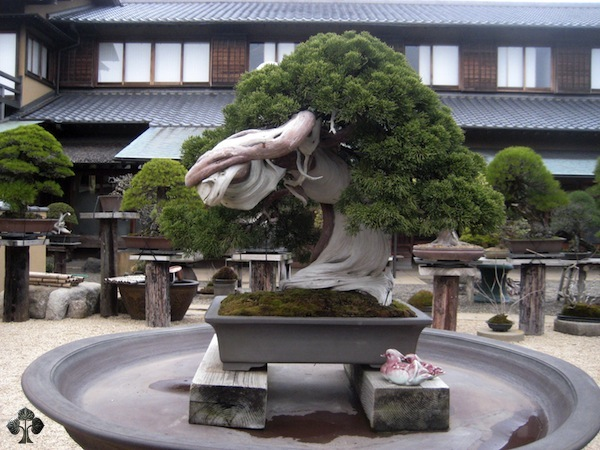 800 year old Bonsai tree