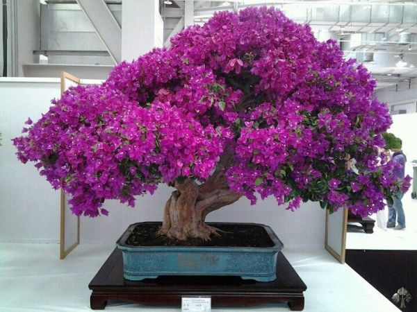Bougainvillea bonsai in bloei