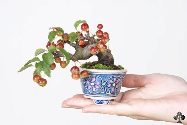 Appel bonsai Komiya
