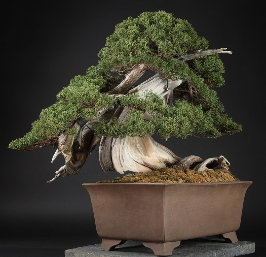 Another expensive bonsai tree