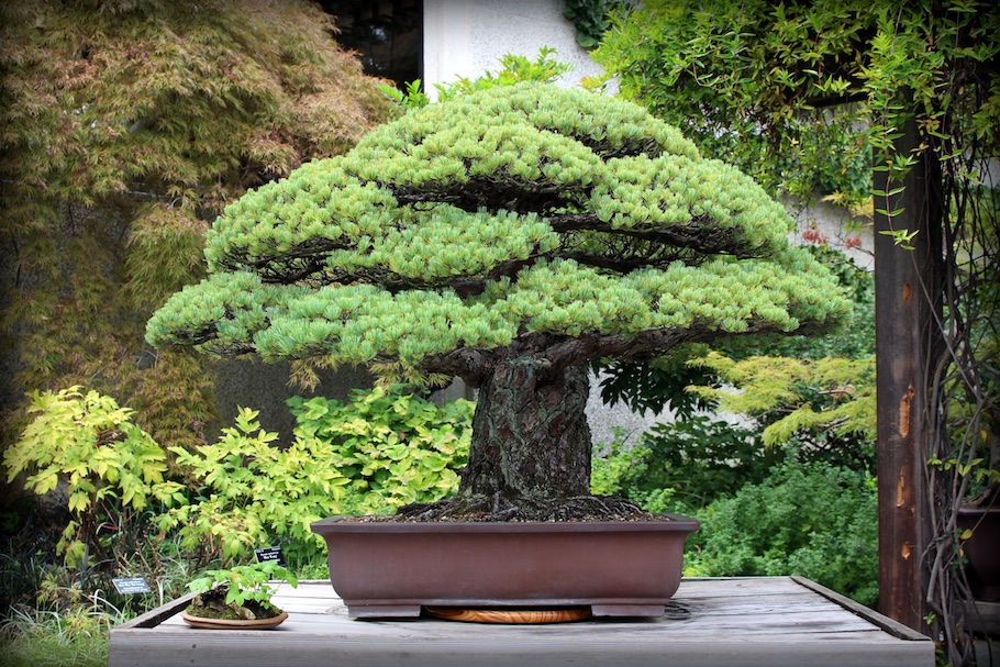 400 year old Bonsai tree, Hiroshima survivor