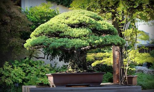 De Bonsai die Hiroshima overleefde