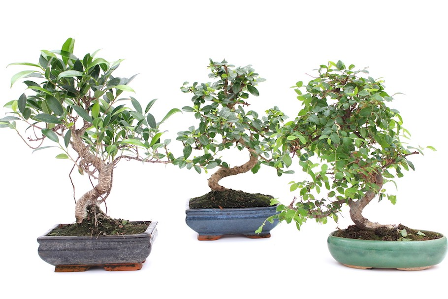Indoor Bonsai trees