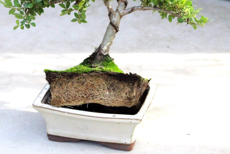 Potbound bonsai tree
