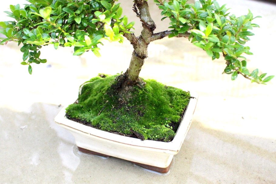Watering a bonsai tree