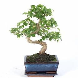 Bonsai verzorgen binnen