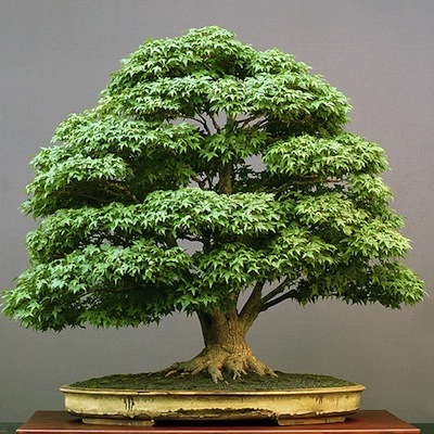 Bonsai boom onderhoud