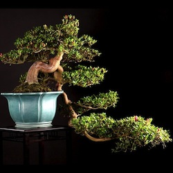 Bonsai film