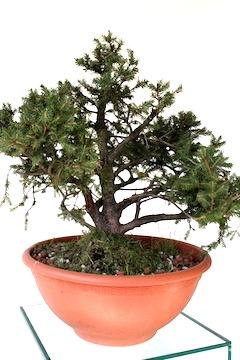 Welke bomen zijn geschikt voor bonsai