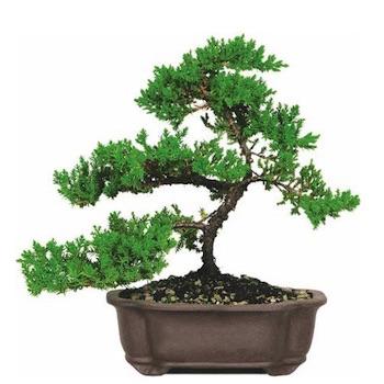 Verzorging Voor De Jeneverbes Juniperus Bonsai Empire