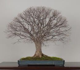 Keyaki, Omiya Bonsai Art Museum.