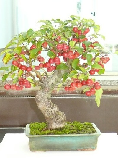 Bonsai with crab apple