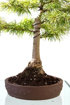 Verpotte bonsai