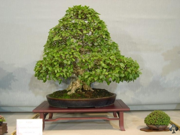 Haagbeuk(Carpinus) Bonsai boom