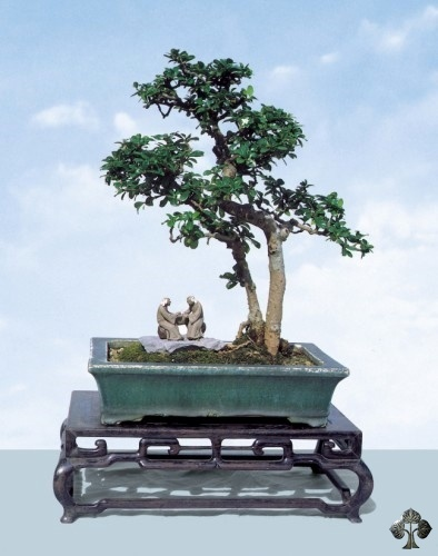 Carmona bonsai tree