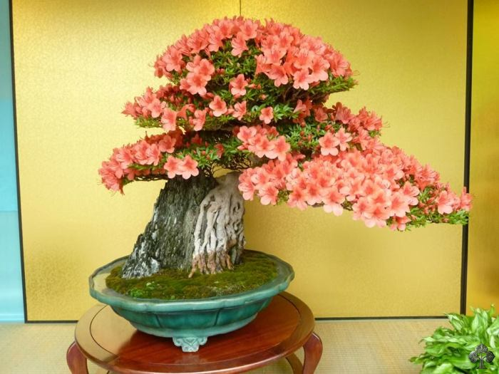Azalea Bonsai in volle bloei