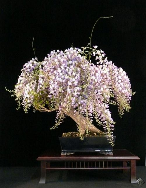 Wisteria bonsai in bloei