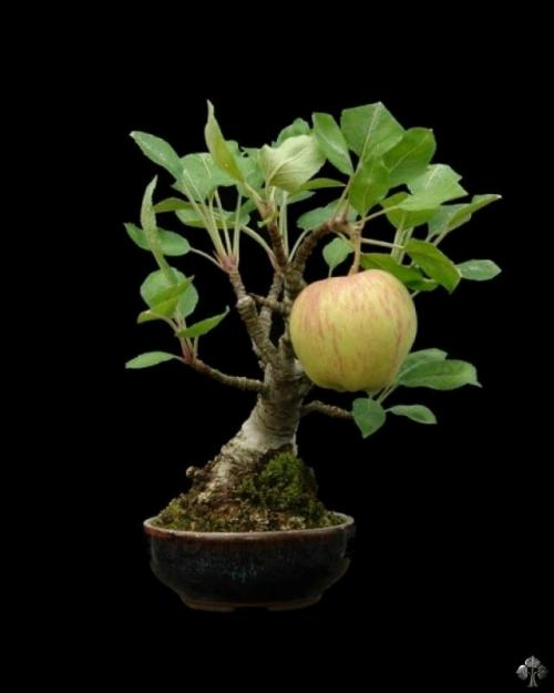 Apple bonsai boom