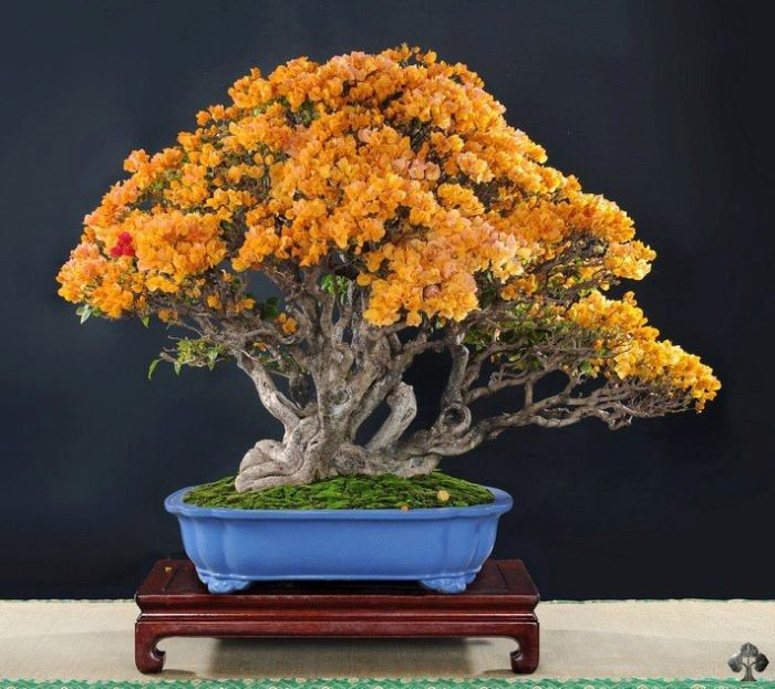 Bougainvillea bonsai boom