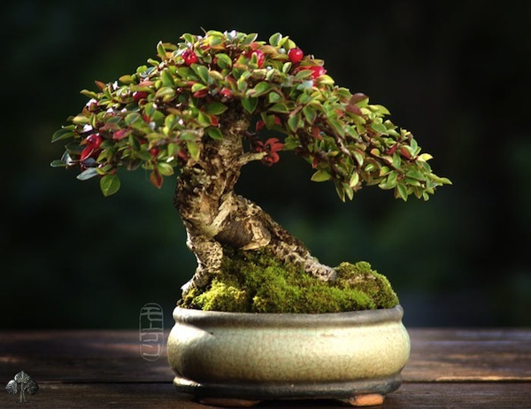 Shohin by Morten Albek