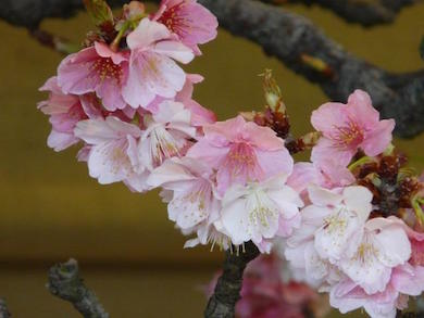 closeup of cherry blossom on bonsai
