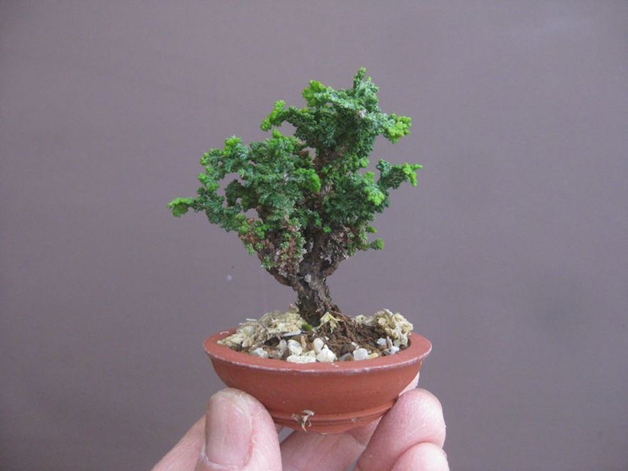 Hinoki Mame Bonsai