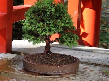 The repotted bonsai tree