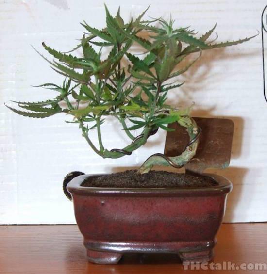 Marihuana Bonsai Bonsai Empire