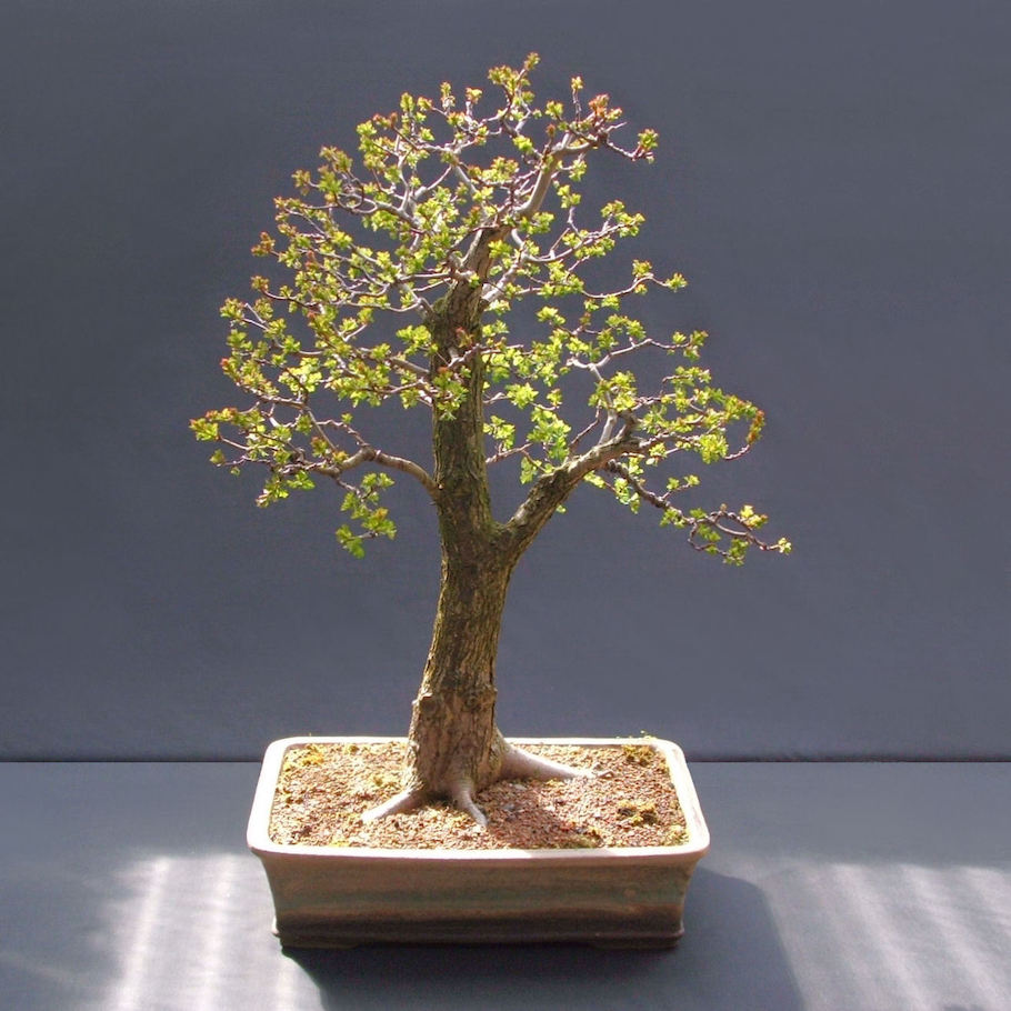 Hawthorn Bonsai by Harry Harrington