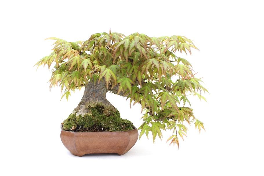 Bonsai Boom Verzorgen : Potkeuze het kiezen van de juiste bonsai pot bonsai empire