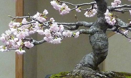 Kersenbloesem Bonsai