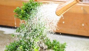 Bonsai Boom Verzorgen : Bonsai verzorging en onderhoud bonsai empire
