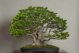 Shishigashira, in April, Omiya Bonsai Art Museum.