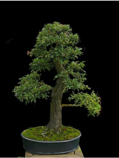 Finished Bonsai tree