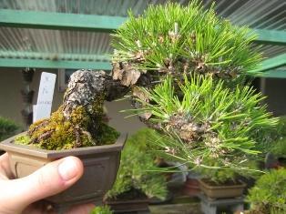 Koju en shohin tuin bonsai empire for Substraat betekenis