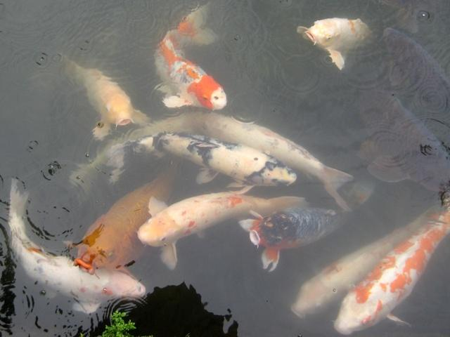 Koi fish from Japan