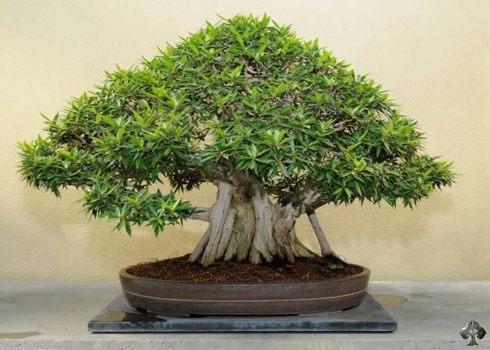 Verzorging Voor De Ficus Ficus Retusa Ginseng Bonsai Empire
