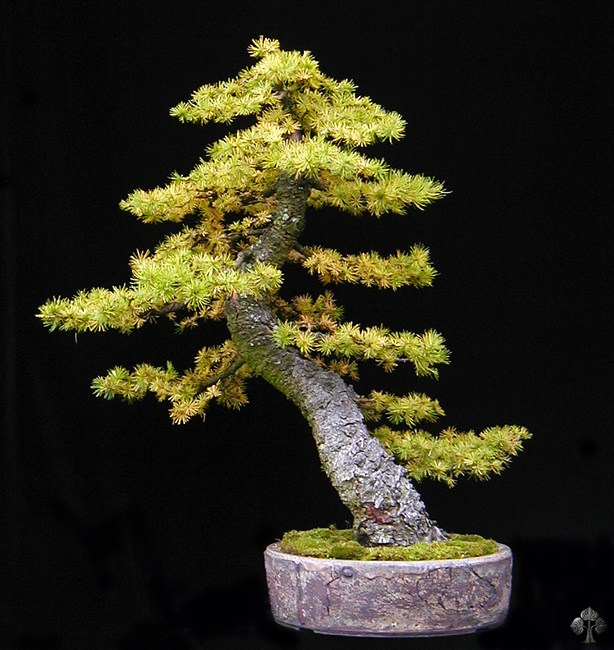 Larix, Larch Bonsai tree