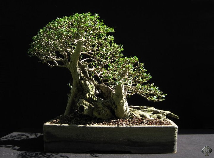 Ligustrum, Privet Bonsai tree