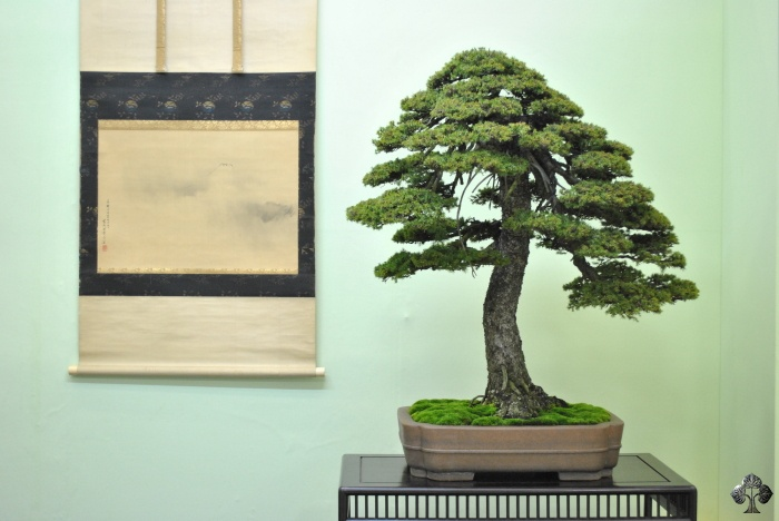 Spar Bonsai, Picea bonsai boom
