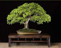 De koreaanse spar bonsai forum bonsai empire for Substraat betekenis