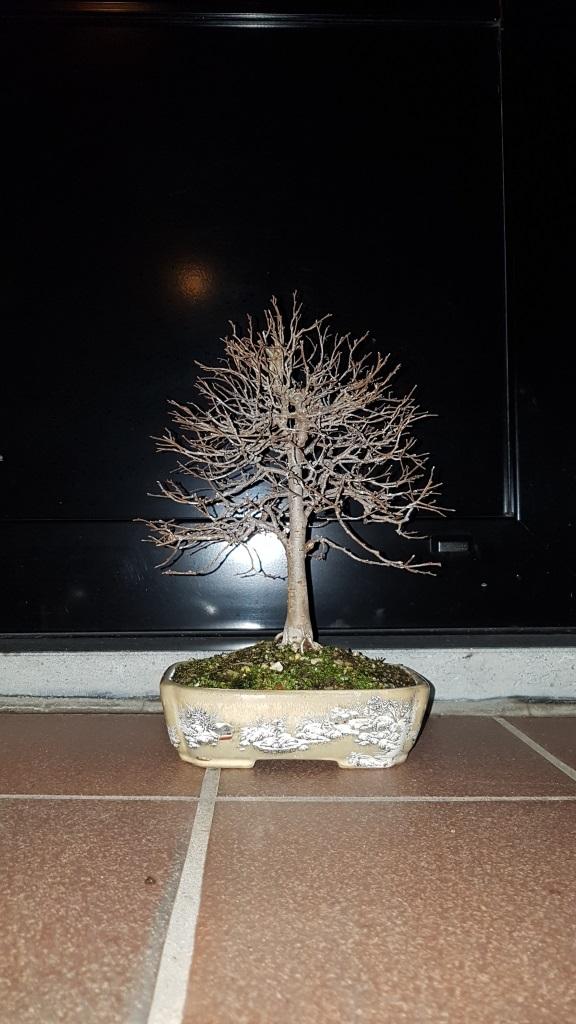 Bladverlies sageretia theezans bonsai forum bonsai empire for Substraat betekenis