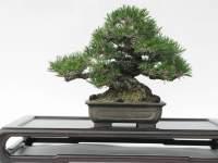 Prunus mume bonsai forum bonsai empire for Substraat betekenis
