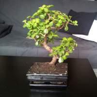 Diverse vragen portulacaria dwarf jade bonsai forum for Substraat betekenis