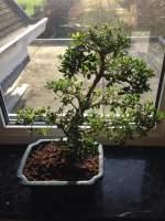 Ilex crenata japanse hulst bonsai forum bonsai empire for Substraat betekenis