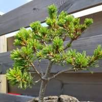 Ik gok een spar bonsai forum bonsai empire for Substraat betekenis