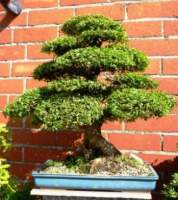 Ginkgo biloba bonsai forum bonsai empire for Substraat betekenis
