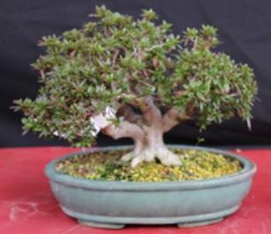 Satsuki azalea wortelrot pagina 3 bonsai forum for Substraat betekenis